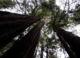 Pacific Redwoods