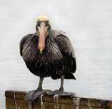 The Brown Pelican
