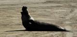 Elephant Seals of Piedras Blancas