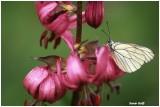 Papillon sur Lys Maragon