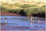 Marabouts Ewso Ngiro River Samburu Parc