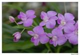 Taïland' s Orchid's