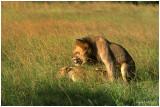 Lion Valentine time
