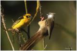 Tisserin & Mousebird