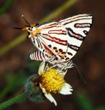 Natal Bar - Cigaritis natalensis