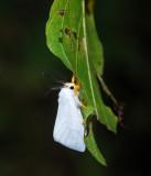 Two-phase Emerald - Rhadinomphax  divincta