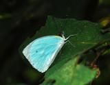 Cambridge Vagrant - Nepheronia thalassina sinalata