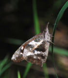 African Snout Butterfly - Libythea labdaca laius