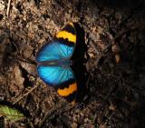 Gold-banded Forester - Euphreda neophron neophron