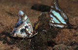 Pearl Spotted Emperor - Charaxes jahlusa & Club-tailed Emperor - Charaxes zoolina zoolina
