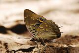 Blue-spotted Emperor - Charaxes cithaeron cithaeron