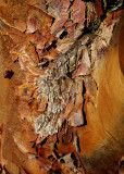 3 Maple Bark