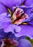 3 Purple Maroon Iris