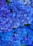 9 Blue Hydrangea