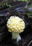 Yellow Amanita
