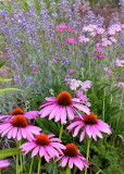 Echinacea, Lavender, Yarrow