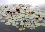 Lotus Pond '05