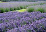 Lavender Fields, Sequim