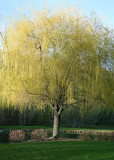 Young Weeping Willow