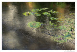Frozen water lilies