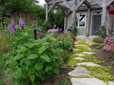 Golden pathway with Creeping Jenny that comes back every year!