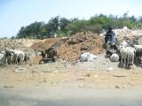 491 Goats.jpg