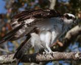 Osprey on overhead branch.jpg