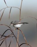 Grey Gnatcatcher in the reeds.jpg