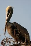 Circle B Brown Pelican.jpg