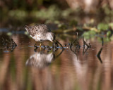 Circle B Dowitchers in the Marsh 2.jpg