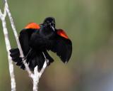 Circle B Redwing Blackbird calling wide.jpg