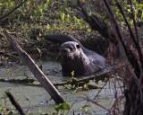 Otter on Alligator Alley 4.jpg