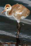 Sandhill Chick.jpg