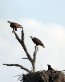 Eagle Family Near Shady Oak.jpg