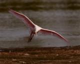 Roseate Spoonbill in Flight at Wading Bird Way.jpg