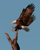 Bald Eagle Landing in Tree Behind Discovery Center.jpg
