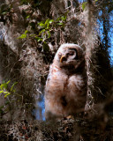 Juvenile Barred Owl.jpg