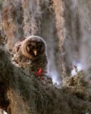 Juvenile Barred Owl Feeding Facing Camera.jpg