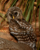 Juvenile Barred Owl Hiding in the Palm Leaves.jpg