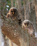 Two Owls Living on Just One Branch.jpg