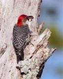 Red Bellied Woodpecker with Breakfast.jpg