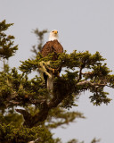 Bald Eagle in a Tree.jpg