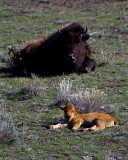 Bison Calf with Mommy.jpg
