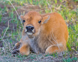 Bison Calf Closeup.jpg