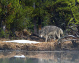 Grey Wolf Stalking Through the Trees at North Twin Lake.jpg