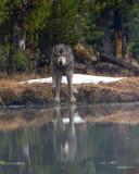 Grey Wolf Reflection at North Twin Lake.jpg