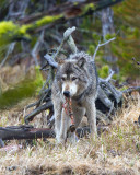 Grey Wolf With a String of Meat in His Mouth at North Twin Lake.jpg
