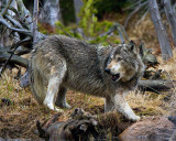 Grey Wolf on Elk Carcass at North Twin Lake Looking Back.jpg