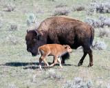 Bison mom and calf.jpg