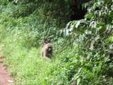 Manyara - Yellow Baboon